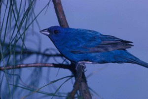 indigo, bunting, bird, observes, surroundings