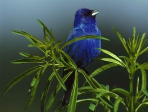 indigo, bunting, male, bird, sings, passerina, cyanea