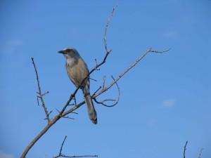 Aphelocoma, coerulescens, gommage, geai, bleu, oiseau