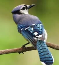 cyanocitta, cristata, bleu, geai, oiseau