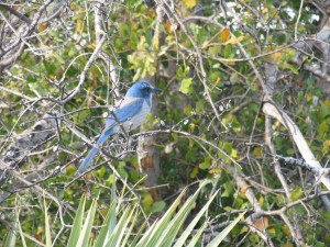 florica, scrub, jay, bird, blue, bird, aphelocoma coerulescens