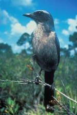 florida, scrub, jay, bird