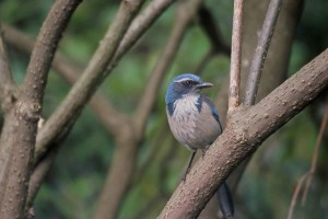 gray, white, throat, scrub, jay, bird, dark, border, grayish, underparts