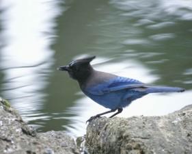 steller, jay, bird, standing, rock, water, cyanocitta stelleri