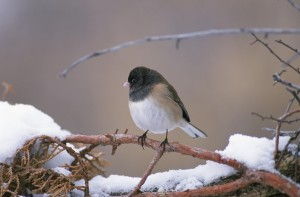 junco, bird, sitting, snow, crusted, pine, branch, hill, road