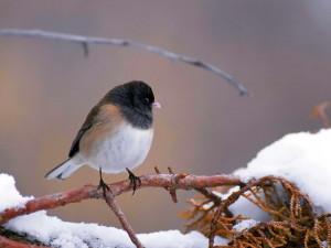 junco, hyemalis, bird, dark, eyed, junco