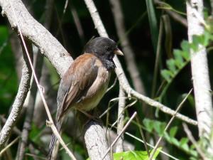 junco, hyemalis, dark, eyed, bird, junco