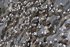 zwart, legged, zeemeeuwen, kolonie, rissa tridactyla, vogels