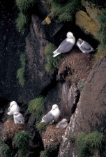 black, legged, kittiwakes, hall, island