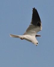 de près, à queue blanche, cerf-volant, oiseau, voler, Elanus, leucurus