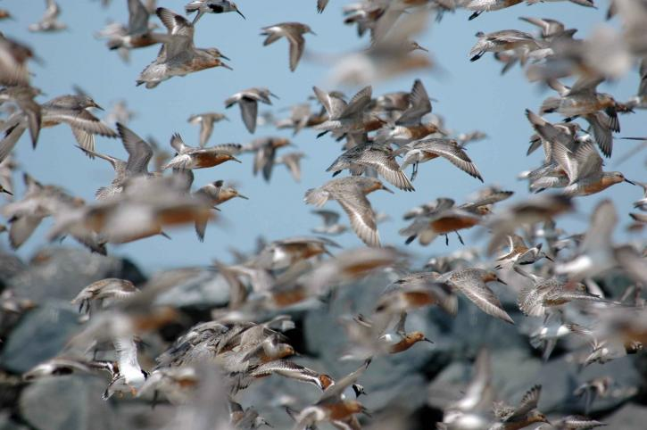 flock, red, knot, birds, flight