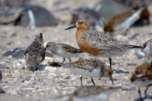 Flock, rød, knude, fugle, sand, calidris canutus rufa