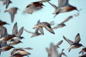 flock, red, knots, flight