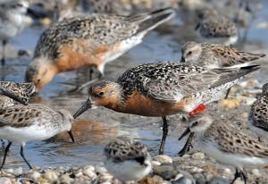 tagged, red, knot, coast, birds, calidris, canutus, rufa