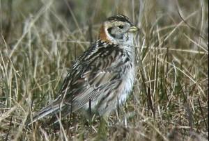 lapland, longspur, bird, calcarius, lapponicus