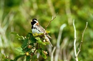 lapland, longspur, bird, sitting, top, branch, calcarius, lapponicus