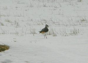 Kiebitze, Schnee, vanellus vanell
