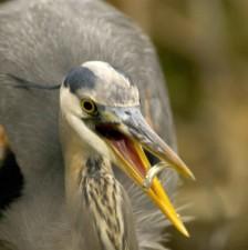 veľký, umožňuje sa brodiť, vták, občerstvenie, ryby
