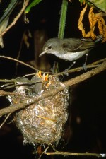 moins, cloche, vireo, oiseau, nid, poussins, vireo, bellii, pusillus