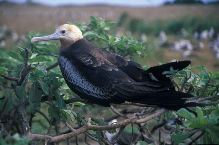 lesser, frigatebird, bird, perching, tree, branch, fregata ariel