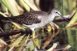 mindre, yellowlegs, vådområder, fugl, tringa, flavipes