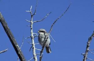 Καρέτα-Καρέτα, shrike, πουλί, lanius ludovicianus