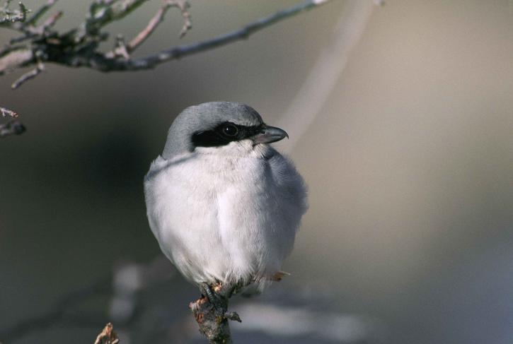 loggerhead, shrike, bird, branch, lanius, ludovicianus
