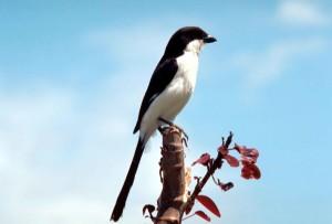 long, tailed, fiscal, shrike, bird
