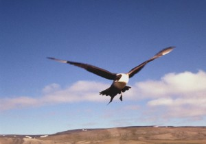 long, tailed, jaeger, bird, flight, stercorarius, longicaudus