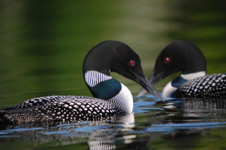 gavia, immer, huards, oiseaux, paire, natation
