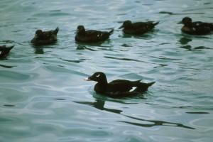 white, winged, scoter, waterfowl, birds, melanitta, fusca