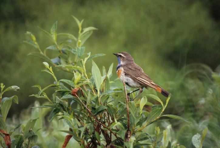 luscinia, svecica, bluethroat, bird, wild
