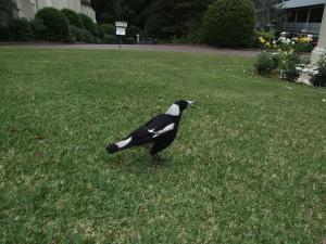 magpie, bird