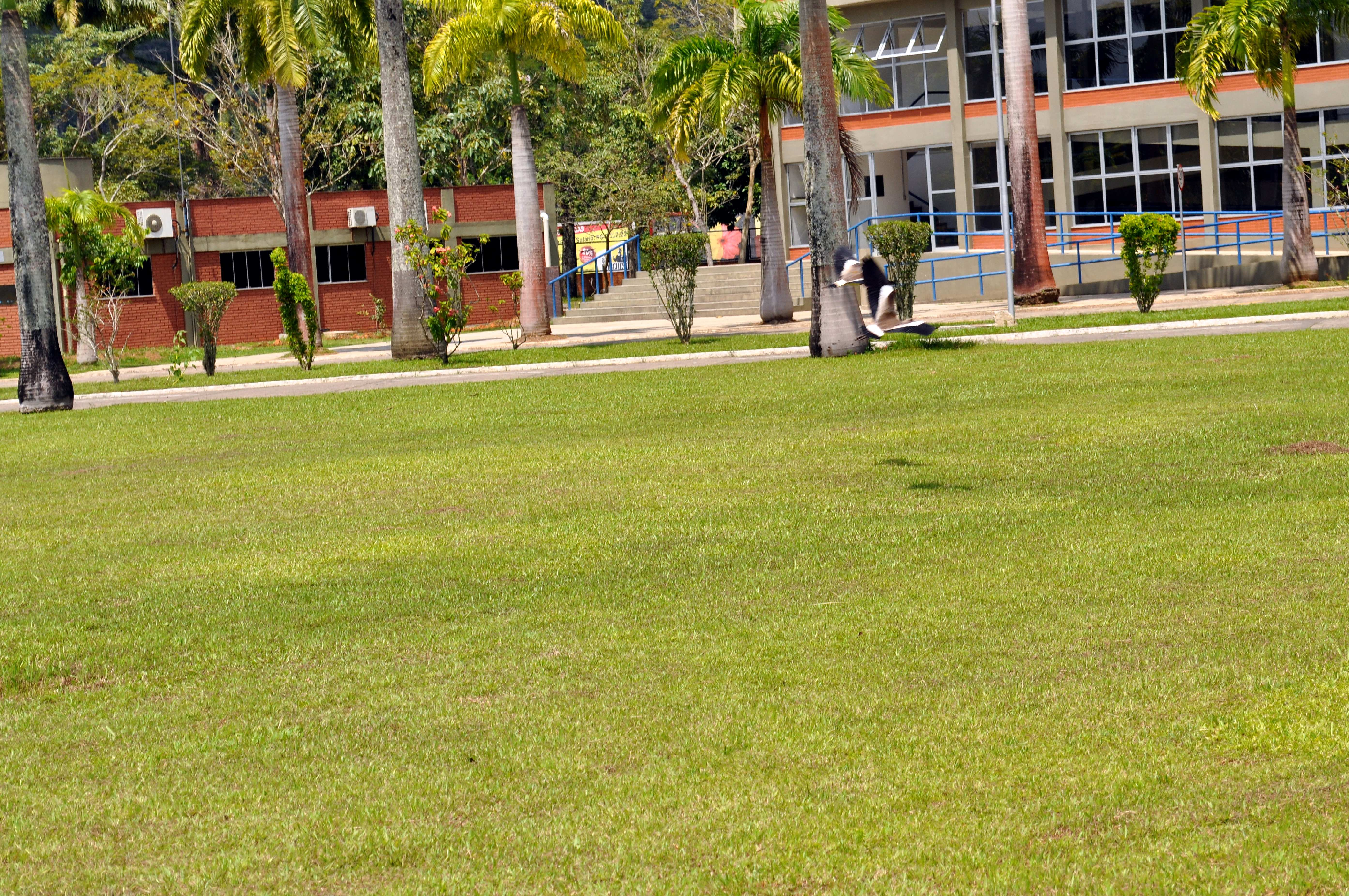 Free photograph; magpie, bird, flight, lawn, grass