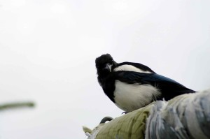 сорока, птица, сидя