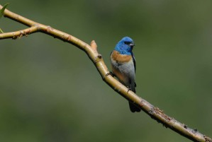 male, lazuli, bunting, bird, branch, passerina, amoena