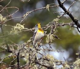 male, northern parula, bird, parula, Americana