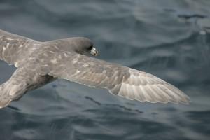 marine, bird, fulmaris, glacialis, northern fulmar, bird, flyin, sea
