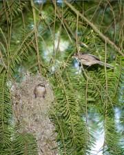 mating, bushtits, birds, construct, nest