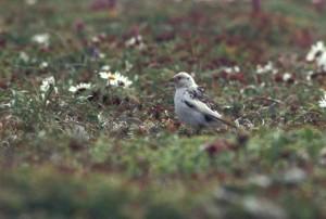 mckay, bounting, bird, breeding, plumage, plectrophenax, hyperboreus