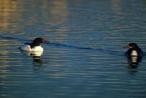 potápač prostredný, vtáky, vodné