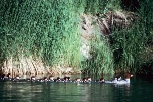 potápač prostredný, brood, vtáky