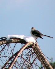 moqueur, oiseau