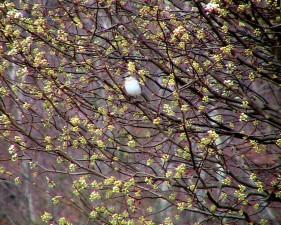 mockingbird, bradford, pear, tree