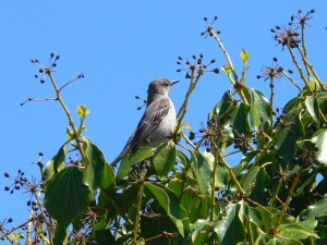 Mockingbird, percher, branche