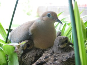 mañana, palomas, aves