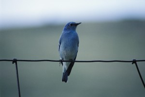 munte, blue bird, sialia currucoides