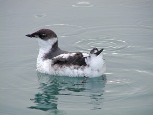 juvenile, marbled, murrelet, floats, water