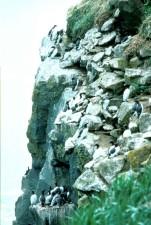 communes, guillemots, oiseaux, sliffs