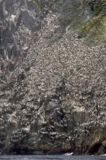 guillemots, oiseaux, colonie, uria